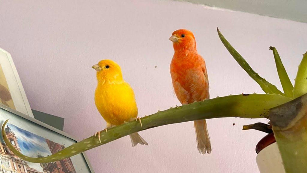 Pic of adorable canaries; Cello & Coral!